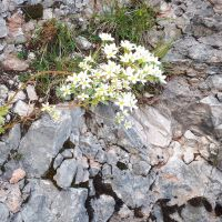 Flores Alpinas. saxifraga alpina. Monte Corno, Asiago, Vicenza.