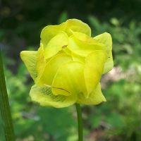 Flores Alpinas. Trollius europaeus. Altopiano di Asiago, Vicenza.